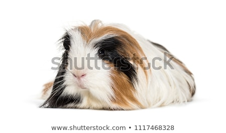Portrait of black guinea pig or cavy indoors. Stock photo © Illia