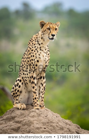 cheetah · top · rock · natuur · steen · snel - stockfoto © musat