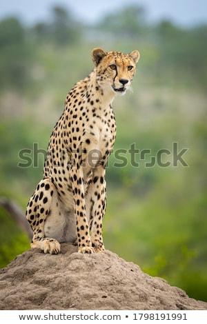 Isolé portrait africaine guépard profile blanche Photo stock © Musat