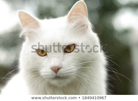 veterinary and angora cat Stock photo © smithore
