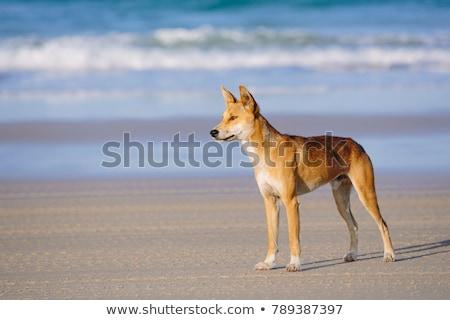пляж Австралия природы океана волка острове Сток-фото © Alvinge