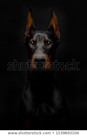 doberman Stock photo © cynoclub