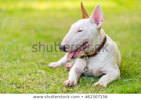 Zdjęcia stock: White Bull Terrier