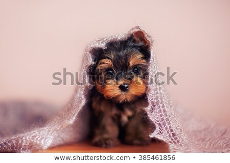 adorable yorkshire puppy relaxing stock photo © feedough