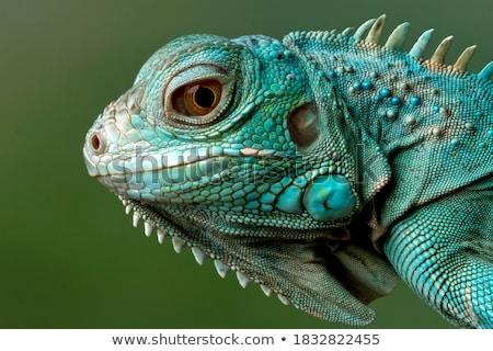 Iguana sürüngen hayvan doğa yaban hayatı yeşil Stok fotoğraf © ia_64