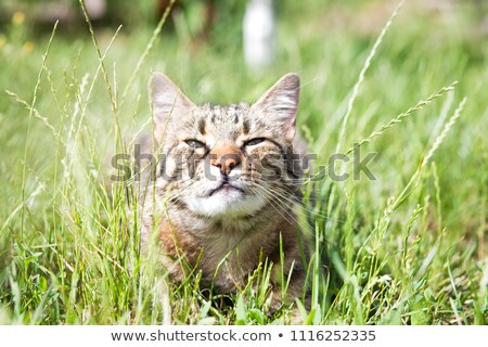 Cat in a green grass Stock photo © vlad_star