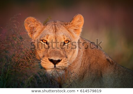 African lioness (Panthera leo) Stock photo © ajlber