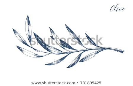 zeytin · beyaz · arka · plan · yaprakları · bitki - stok fotoğraf © masha