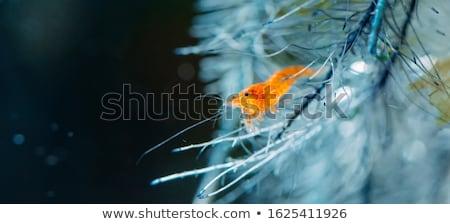 cristal · vermelho · água · doce · camarão · subaquático · cenário - foto stock © prill
