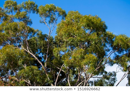 Australian Gum Leaves Eucalyptus citriodora Stock photo © sherjaca