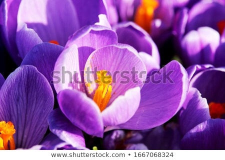 Closeup of a purple crocus bloom in the grass Stock photo © sarahdoow
