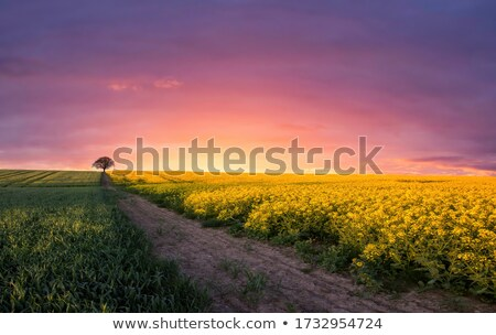 Stock photo: Yellow canola flowers and setting sun in background