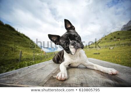 cachorro · terrier · piso · feliz · preto · jovem - foto stock © arenacreative