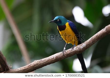 Vad madarak Afrika kék lila szépség Stock fotó © Livingwild
