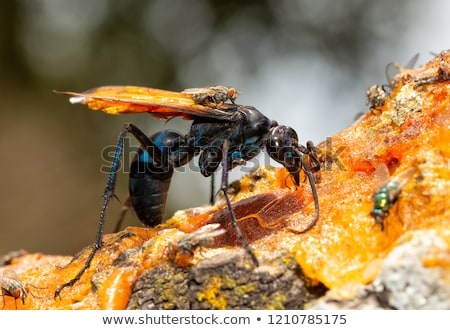 Tarantula Hawk Spider Wasp on Orange Stock photo © rhamm