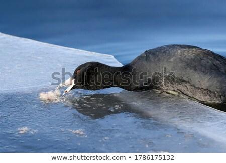 ледяной озеро ходьбе вместе птица Сток-фото © taviphoto