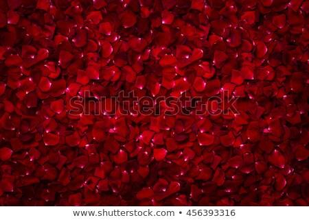 赤いバラ 花弁 孤立した 白 ストックフォト © neirfy