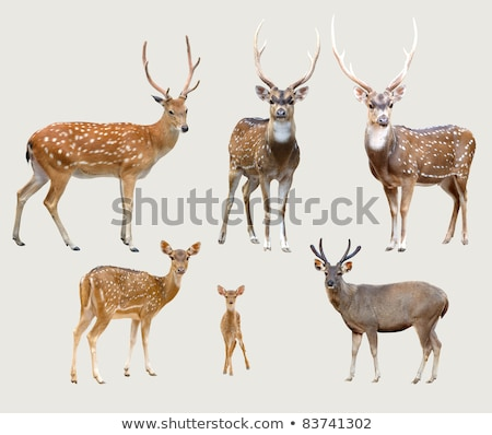male axis deer isolated  Stock photo © anan