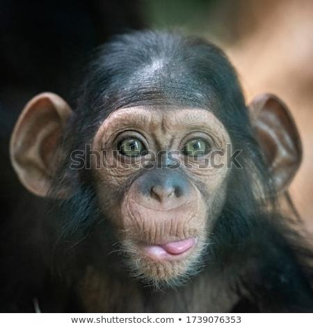 Bebek şempanze orman Uganda Afrika maymun Stok fotoğraf © wildnerdpix