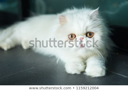 エキゾチック · ショートヘア · 猫 · ペルシャ猫 · グレー · 目 - ストックフォト © ewastudio