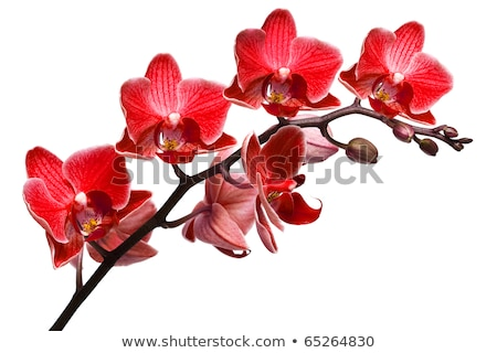 Rojo orquídeas tiro verde abeja Foto stock © tito