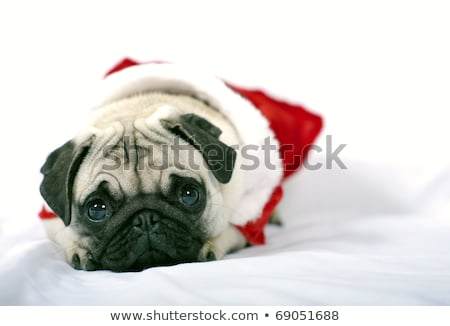 black pug with a christmas dress stock photo © gemenacom
