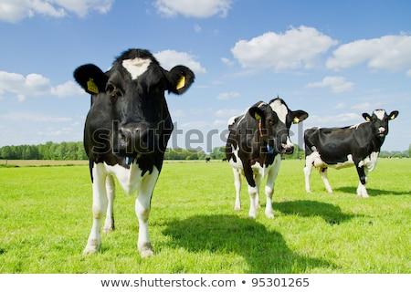 vaca · preto · e · branco · campo · cara · azul · fazenda - foto stock © compuinfoto