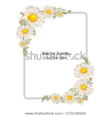 хризантема · бутон · белый · цветок · природы - Сток-фото © zhekos