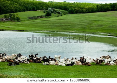 Young Goats in a Pasture stock photo © rhamm