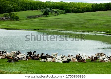 молодые Козы пастбище Фермеры фермы области Сток-фото © rhamm
