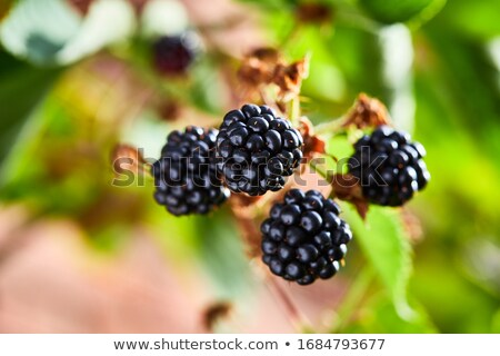 Krzew czarny roślin jeżyna Berry Zdjęcia stock © phbcz