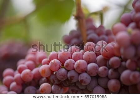 żółty róż winogron California tekstury słońce Zdjęcia stock © emattil