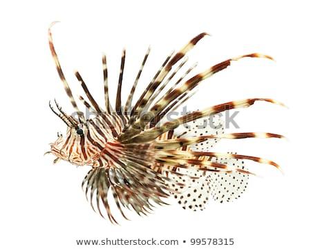 Decorativo isolado veneno leão peixe água Foto stock © ulyankin