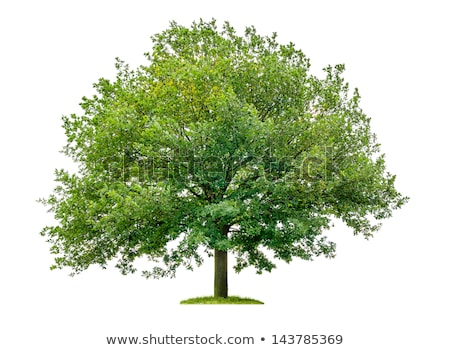 an isolated oak tree on a white background stock photo © zerbor