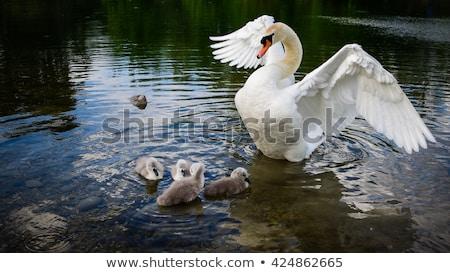Foto stock: Cisne · família · natação · rio · beleza · verão