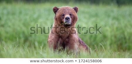 Fiatal grizzly medve tengerparti park Alaszka tengerpart Stock fotó © wildnerdpix