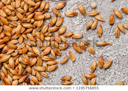 photo of malt grains Stock photo © olira