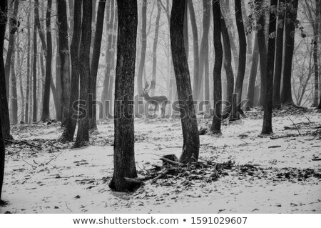 fallow deer in misty forest Stock photo © taviphoto