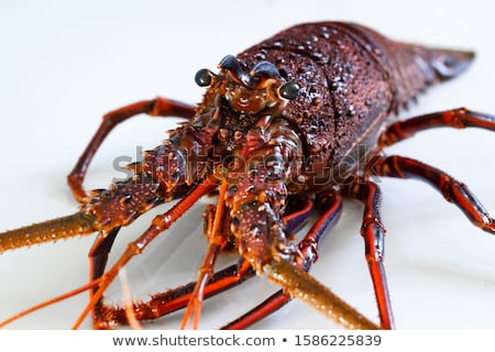 Spiny rock lobster - Panulirus Stock photo © bluering