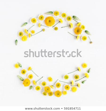 primer · plano · hermosa · amarillo · crisantemo · flores · jardín - foto stock © zhekos