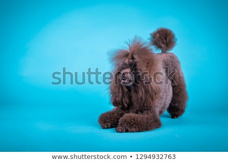 cute poodle standing in a white photo studio Stock photo © vauvau