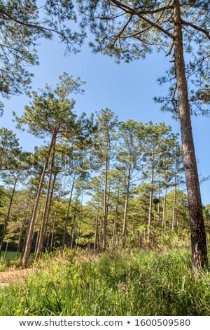 Ecologia viaggio erba pino giungla panorama Foto d'archivio © xuanhuongho