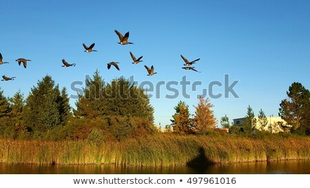 Canada Geese Flying Over a Pond Stock photo © brianguest