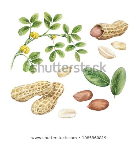 Aquarela ilustração amendoim descascado pintar natureza Foto stock © Sonya_illustrations