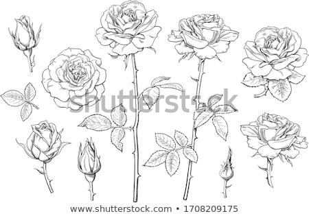 Vector dibujo aumentó Rose Red dibujado a mano flor Foto stock © frescomovie