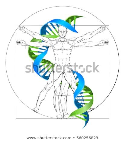 DNA Vitruvian Man Stock photo © Krisdog
