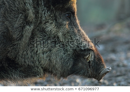 Foto stock: Closeup Of Large Wild Boar At Dawn