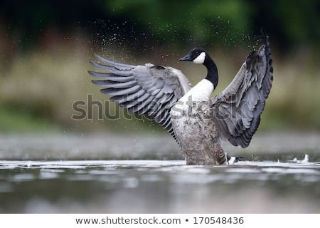 Canada Goose Bathing Stock photo © suerob