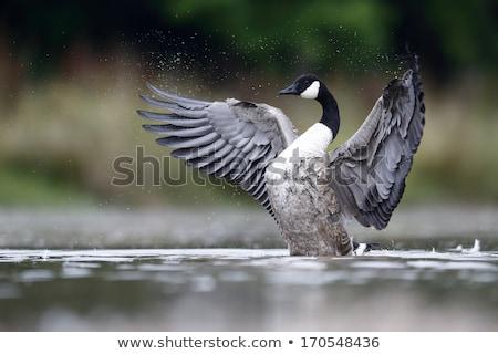 Канада · гусь · крыло · ребенка · гнезда - Сток-фото © suerob