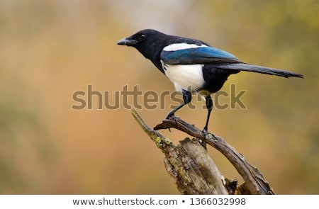 eurasian magpie pica pica stock photo © dirkr